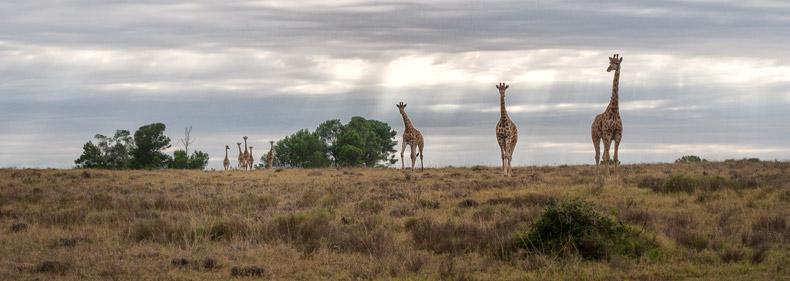 Giraffe Herd Kichaka Lodge Matthew Cunningham