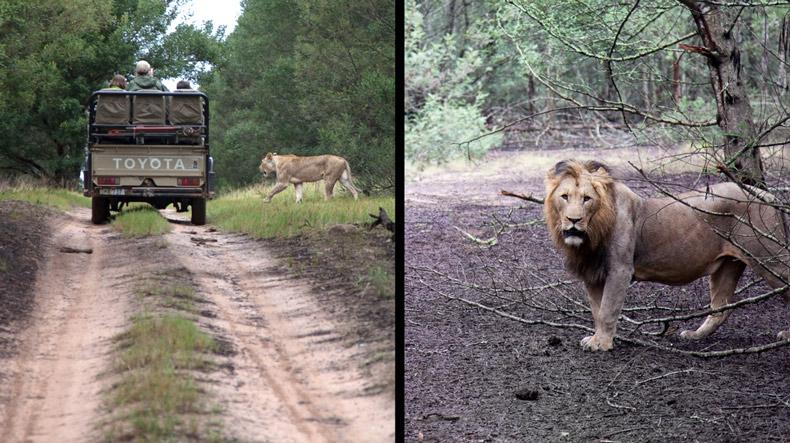 Lions Kichaka Lodge Matthew Cunningham