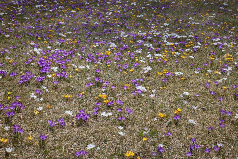 Matthew Cunningham Landscape Design Crocuses A
