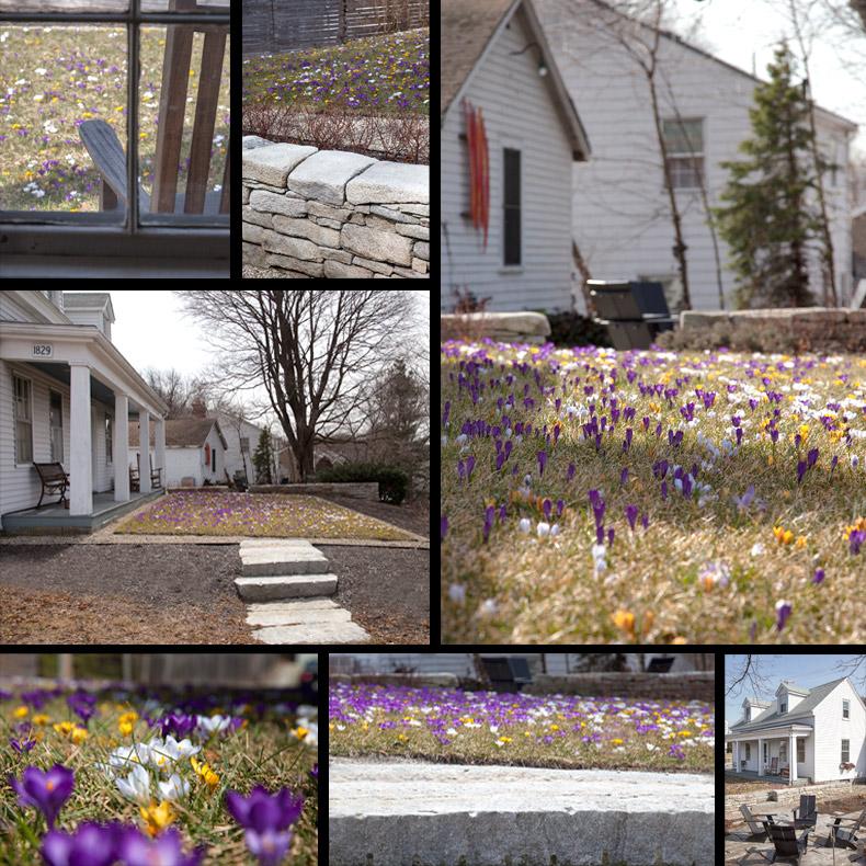 Matthew Cunningham Landscape Design Crocuses C