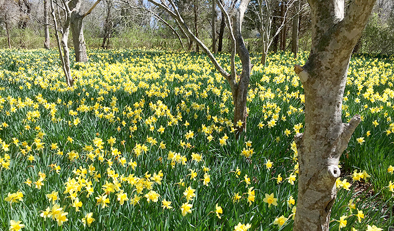 Daffodils-Parsons-Reserve-MCLD-3