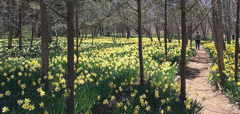 Daffodils-Parsons-Reserve-MCLD-4